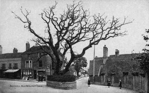 old-walnut-tree